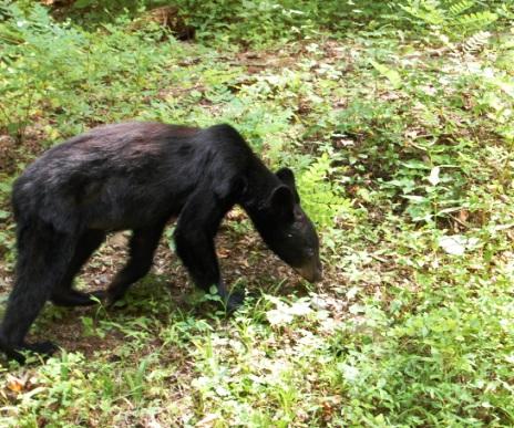Black Bear Cub in GSMNP