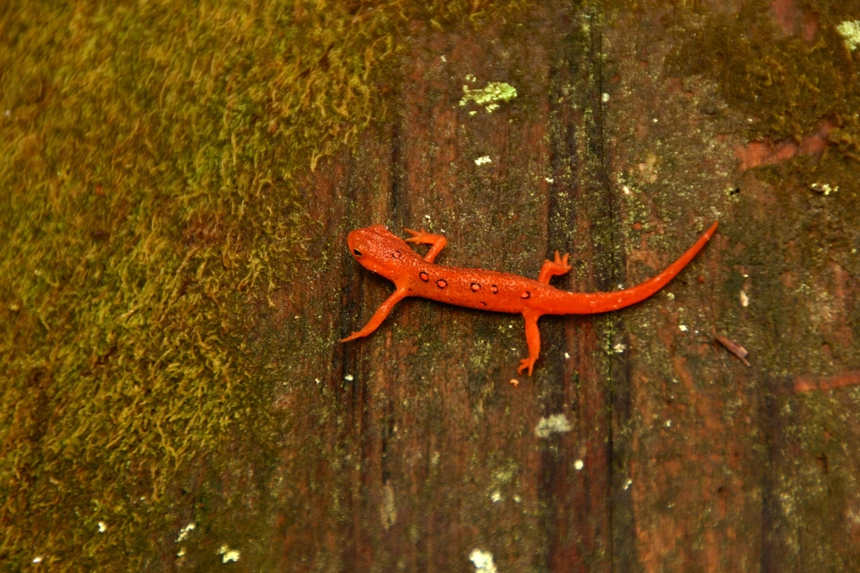 Salamander for blog 3-27-2014