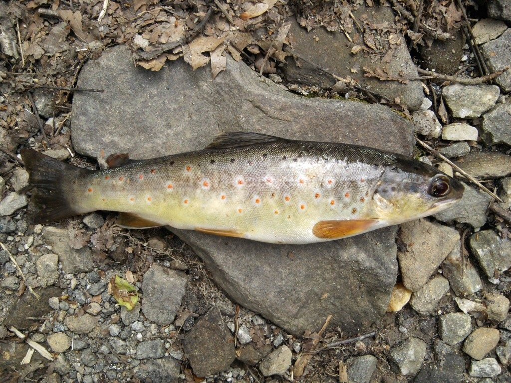 Fishing in the Smokies for 4-3-2014 Fish Image