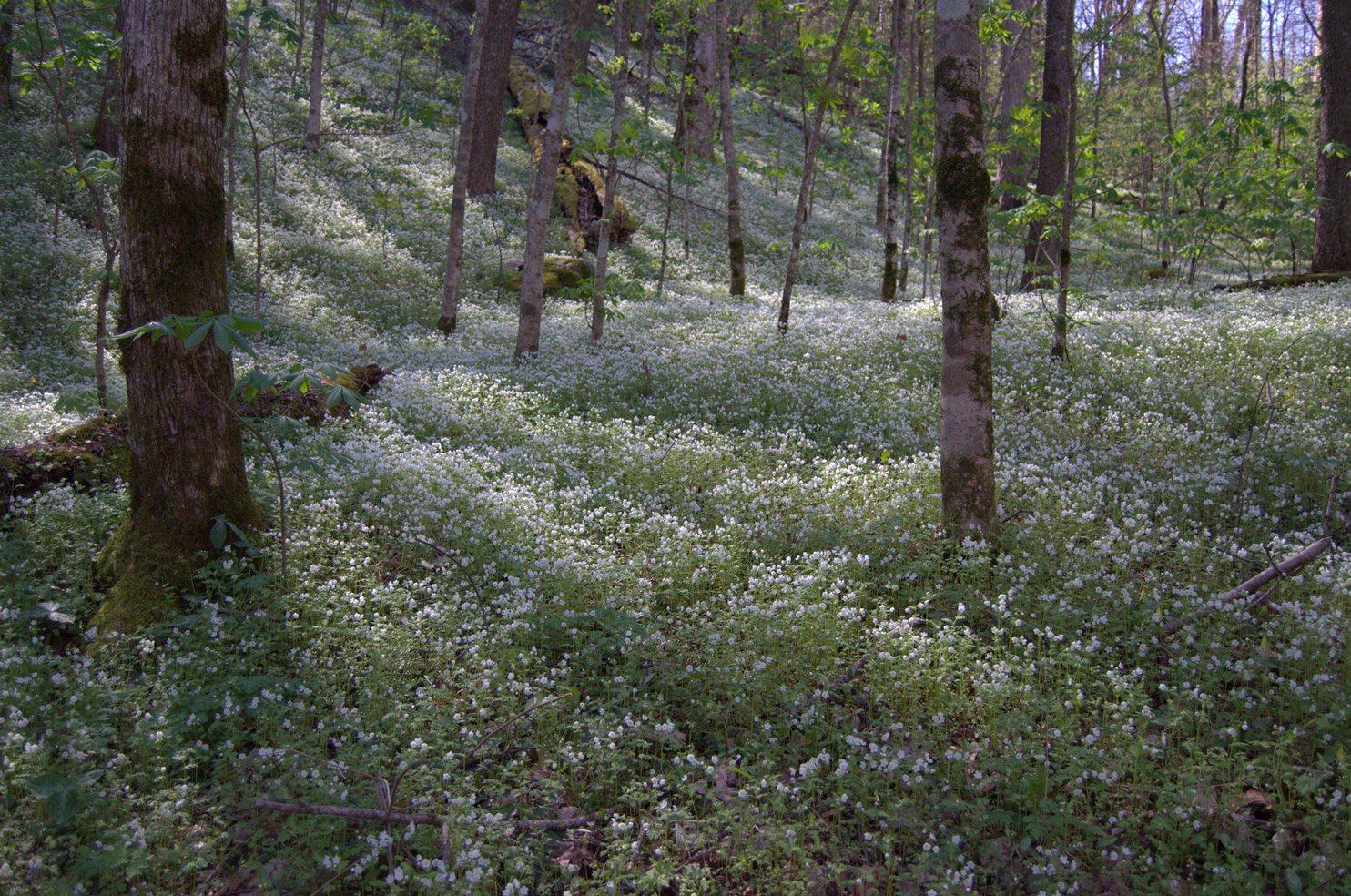 Wildflower Report Porters Creek Forest 4-11-14