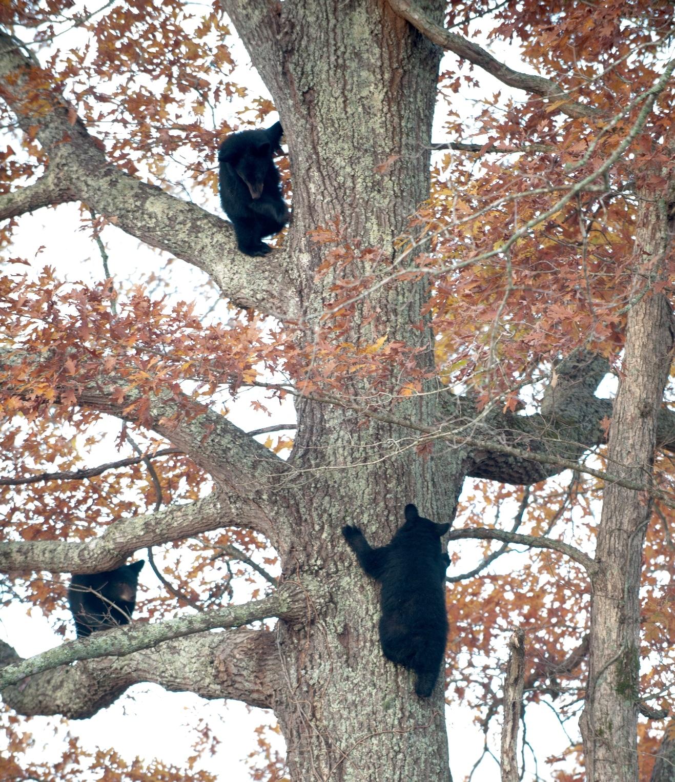 5-15-2014 Smokies Blog Black Bears