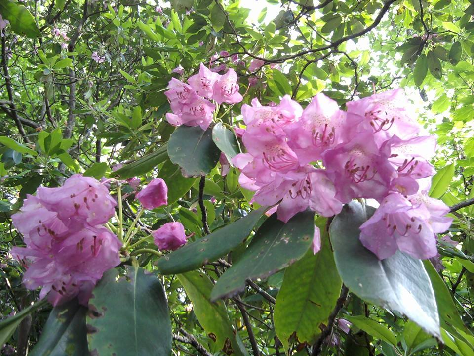 Rhododendron Mountain Laurel And Flame Azalea