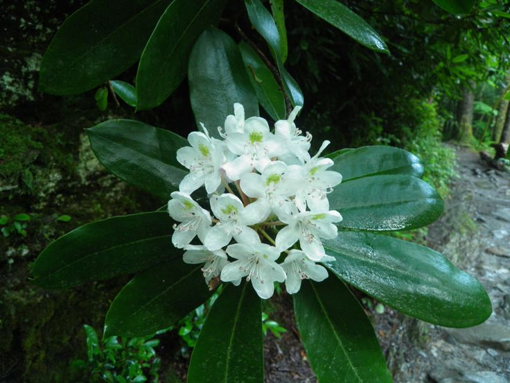 White Laurel