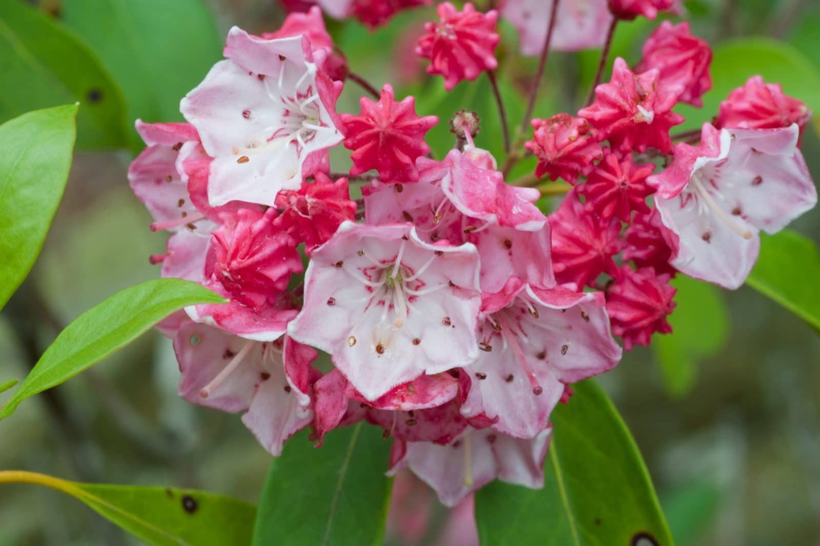 rhododendron mountain laurel and flame azalea. Black Bedroom Furniture Sets. Home Design Ideas