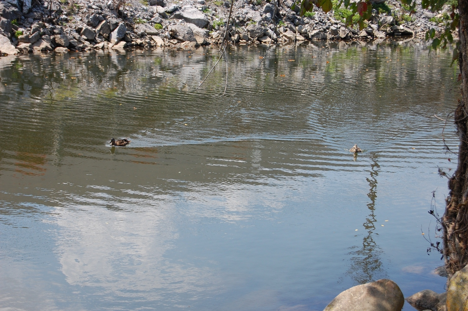 duck swimming on little pigeon river