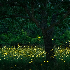 fireflies view