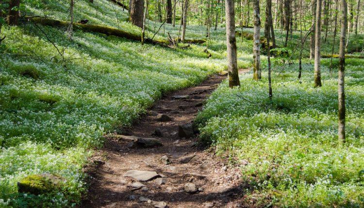 Fringed Phacelia on Porters Creek Trail in Greenbrier (2)