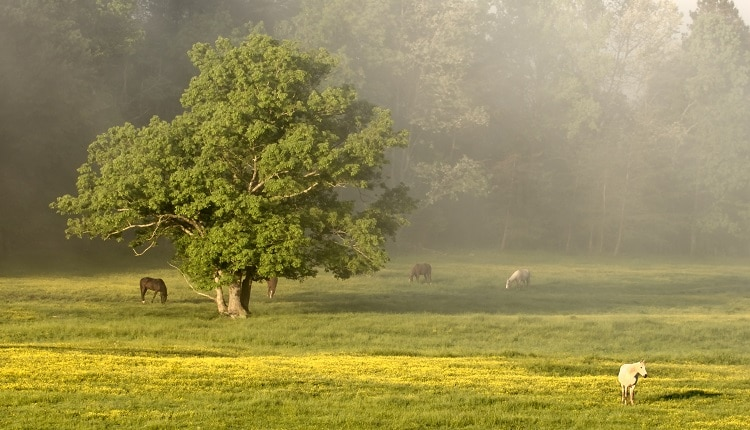Horses graze in the morning Cades Cove, Tennessee. Smoky Mountains National Park.