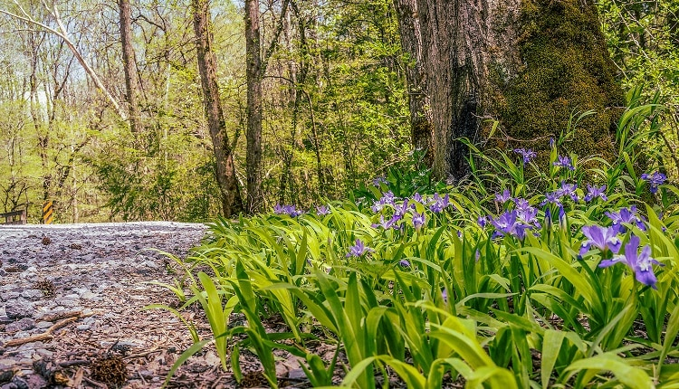 Wildflowers along Porters Creek Trailhead Smoky Mountains