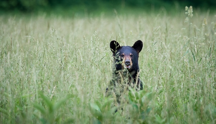 black-bear-in-smoky-mountains-tennessee-750×430