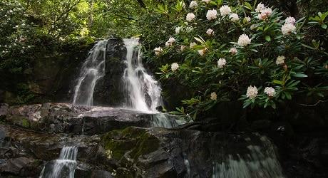 Rhododendron blooms beside Laurel Falls waterfall
